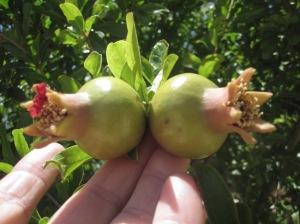 Granatapfelfrüchtchen