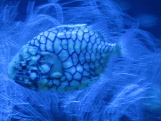 Pinienzapfen-Fisch