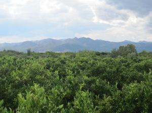 Orangenhain bei Burriana