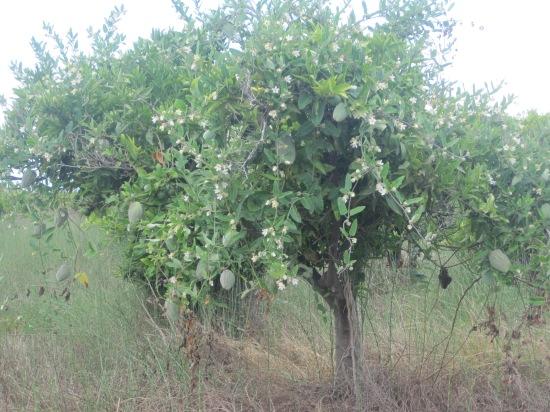 Olivenkletterbaum