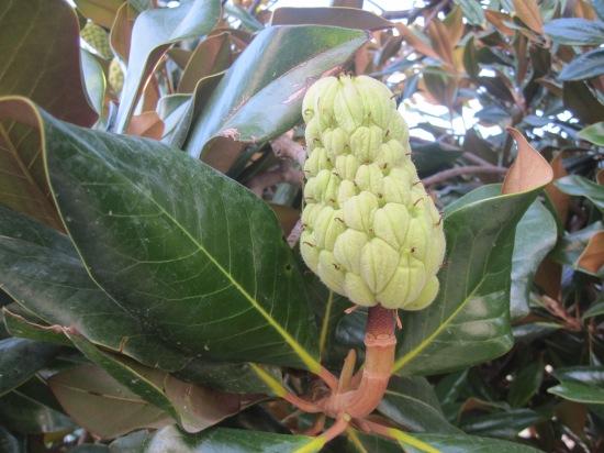 Der Gummibaum trägt Früchte