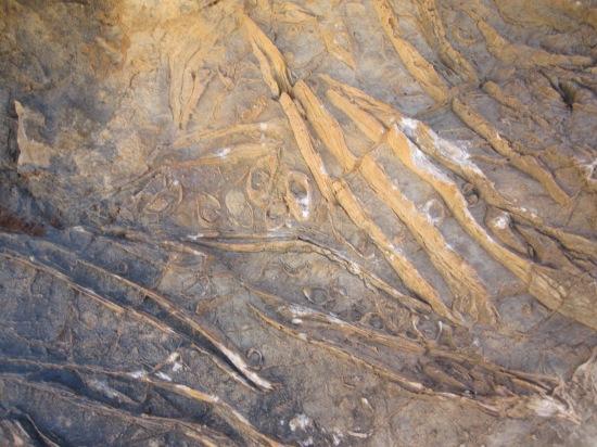 "Fossilien: ""Condrodontos"", 100 Millionen Jahre alt"