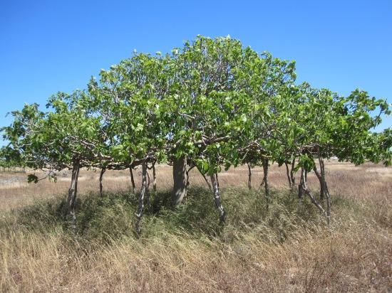 Feigenbaum mit Stützen